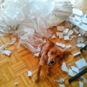 Foxy tears up Styrofoam